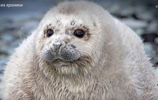 На Камчатке нашли самого толстого тюлененка, назвали Жруном